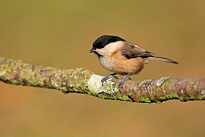 Willow Tit (Poecile montanus) perched on a branch. Staffordshire, UK, February. - Alan Williams