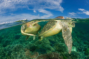 Green turtles (Chelonia mydas) mating over coral reef, Sipadan Island, Sabah, Malaysia, June, Endangered species - Jurgen Freund
