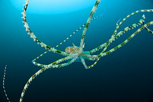 Wonderpus (Wunderpus photogenicus) Indo-pacific. - Jurgen Freund