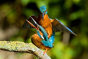 Common Kingfisher (Alcedo atthis) pair mating. Hertfordshire, England, May. - Andy Sands