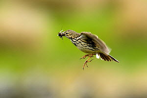 Meadow Pipit (Anthus pratensis) in flight carrying insect prey. Upper Teesdale, County Durham, England, June.  -  Andy Sands
