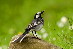 Pied Wagtail (Motacilla alba yarrellii) on rock with beak full of insects. Upper Teesdale, Co Durham, England, June  -  Andy Sands