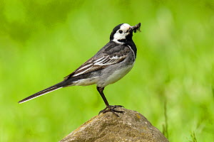 Pied Wagtail (Motacilla alba yarrellii) on rock with beak full of insects. Upper Teesdale, Co Durham, England, June.  -  Andy Sands