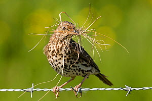 Song Thrush (Turdus philomelos) perched on barbed wire with nesting material. Isle of Tiree, Scotland, June. - Andy Sands