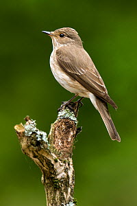 Spotted Flycatcher (Muscicapa striata) perched. West Sussex, England, June. - Andy Sands