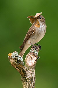 Spotted Flycatcher (Muscicapa striata) perched with ringlet butterfly in bill. West Sussex, England, July. Highly commended, 'Animal Portraits' category, British Wildlife Photography Awards (BWPA) com... - Andy Sands