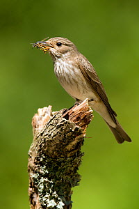 Spotted Flycatcher (Muscicapa striata) perched carrying wasp in bill. West Sussex, England, July. - Andy Sands