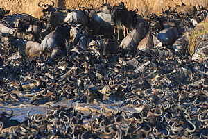 Mass of Wildebeest {Connochaetes taurinus} scrambling to get out of the river during the great migration, Masai Mara reserve, Kenya, July - Laurent Geslin