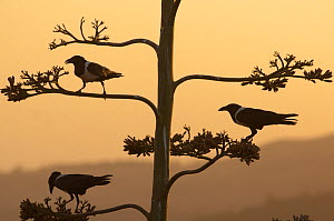 Silhouette of three Pied crows {Corvus albus} perched in tree, Ethiopia, February - Laurent Geslin