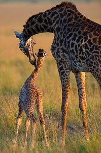 Masai giraffe {Giraffa camelopardalis} mother licking baby, Masai Mara reserve, Kenya, July - Laurent Geslin