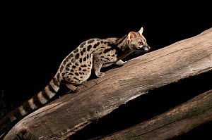 Large-spotted genet (Genetta tigrina) at night in Masai Mara reserve, Kenya - Laurent Geslin
