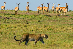 Leopard (Panthera pardus) walking, watched by herd of Impala, Masai Mara reserve, Kenya - Laurent Geslin