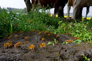 Mass of Yellow Dung Flies (Scathophaga stercoraria) feeding on cow dung with cows in the background, Switzerland, April  -  Laurent Geslin