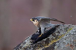 Peregrine falcon (Falco peregrinus) adult perched on a rock with Rook kill, Moorland, Cairngorms National Park, Scotland, UK, Captive - Chris O'Reilly