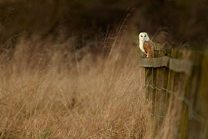 Barn owl (Tyto alba) Mature adult perched, hunting from a fence post at dusk, Derbyshire, UK, January - Chris O'Reilly
