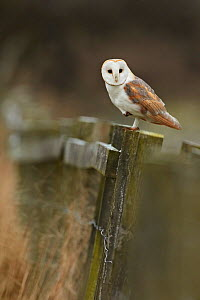 Barn owl (Tyto alba) Mature adult perched on one leg, hunting from a fence post at dusk, Derbyshire, UK, January - Chris O'Reilly