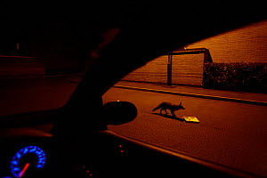 Red fox (Vulpes vulpes) feeding on discarded fish and chips in street at night, viewed from car,   Derbyshire, UK, May - Chris O'Reilly