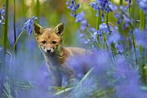 Red fox (Vulpes vulpes) cub among bluebells, Derbyshire, UK, May  -  Chris O'Reilly