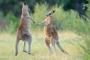 Eastern grey kangaroo (Macropus giganteus) two males boxing, Australian Capital Territory, Australia, December - Dave Watts