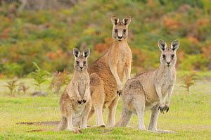 Eastern grey kangaroo (Macropus giganteus) family group, male, female and large joey, Tasmania, Australia, February  -  Dave Watts
