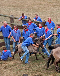 Team of men trying to separate a colt from the herd of wild / feral Dulmen ponies (Equus caballus) during the annual round-up held on the Duke of Croy's estate, Meerfelder Bruch, North Rhine-Westphali... - Kristel Richard