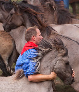 Man trying to separate a colt from the herd of wild / feral Dulmen ponies (Equus caballus) during the annual round-up held on the Duke of Croy's estate, Meerfelder Bruch, North Rhine-Westphalia, Germa... - Kristel Richard