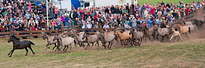 Herd of wild / feral Dulmen ponies (Equus caballus) run into enclosure where men will try to separate the colts from the herd during the annual round-up held on the Duke of Croy's estate, Meerfelder B... - Kristel Richard
