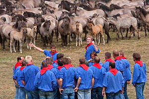 Herd of wild / feral Dulmen ponies (Equus caballus) in enclosure where men identify the colts that they will try to separate from the herd during the annual round-up held on the Duke of Croy's estate,... - Kristel Richard