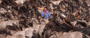 Herd of wild / feral Dulmen ponies (Equus caballus) in enclosure where man stands trying to identify the colt that he will separate from the herd during the annual round-up held on the Duke of Croy's... - Kristel Richard