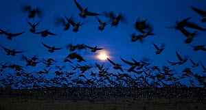 A flock of Barnacle Goose (Branta leucopsis) taking flight in late evening light. Helsinki, Finland, October. Magic Moments book plate, page 133.  -  Markus Varesvuo