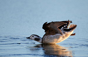 Long-tailed Duck (Clangula hyemalis) female slipping over on ice after landing. Finland, January. Magic Moments book plate, page 101.  -  Markus Varesvuo