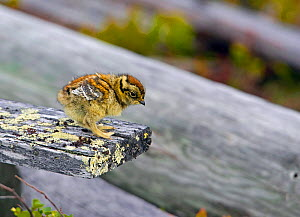 Ptarmigan (Lagopus mutus) chick on lichen covered wood. Ivalo, Finland, June. Magic Moments book plate, page 136.  -  Markus Varesvuo