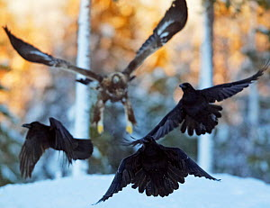 Golden Eagle (Aquila chrysaetos) chasing Ravens (Corvus corax) above snow. Utajsrvi, Finland, January. Magic Moments book plate, page 134. - Markus Varesvuo
