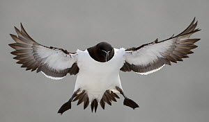 Razorbill (Alca torda) coming in to land. Norway, March. Magic Moments book plate, page 106-107.  -  Markus Varesvuo