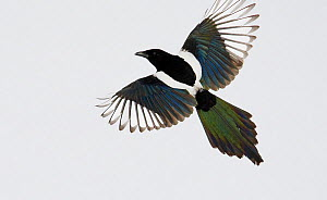 European Magpie (Pica pica) in flight with feather irridescence visible. Kuusamo, Finland, April. Magic Moments book plate, page 120.  -  Markus Varesvuo