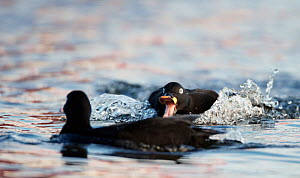 Velvet Scoter (Melanitta fusca) males fighting on water. Finland, May. Magic Moments book plate, page 19.  -  Markus Varesvuo