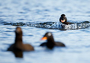 Velvet Scoter (Melanitta fusca) male approaching other birds on water. Finland, May. Magic Moments book plate, page 18.  -  Markus Varesvuo