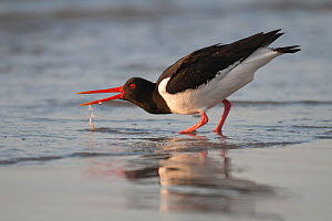 Oystercatcher (Haematopus ostralegus) drinking at water's edge, calling, Helgoland, Germany. May  -  Bernard Castelein