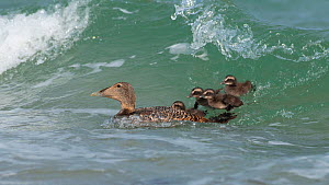 Common Eider (Somateria mollissima) female with chicks on water in waves, Helgoland, Germany, May  -  Bernard Castelein