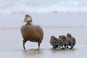 Common Eider (Somateria mollissima) female with chicks walking up beach from water, Helgoland, Germany, May  -  Bernard Castelein