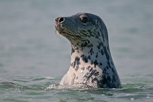 Grey Seal (Halichoerus grypus) watching from the water, Helgoland, Germany, May  -  Bernard Castelein