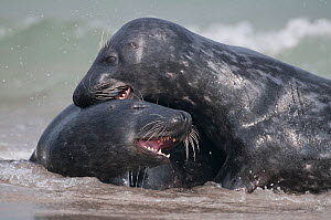 Two Grey seals (Halichoerus grypus) play-fighting in surf, Helgoland, Germany, May  -  Bernard Castelein