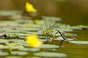 Emperor Dragonfly (Anax imperator) female laying eggs in water. Cornwall, UK, April. - Ross Hoddinott