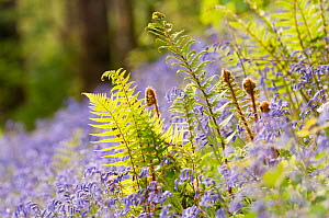 RF- Backlit Fern (Philotum) growing among bluebells (Endymion nonscriptus). Lanhydrock, Cornwall, UK. May. (This image may be licensed either as rights managed or royalty free.) - Ross Hoddinott