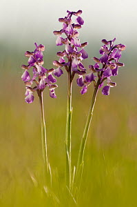 Green-winged Orchids (Anacamptis morio). Barrington Hill National Nature Reserve, Somerset, UK, April. - Ross Hoddinott