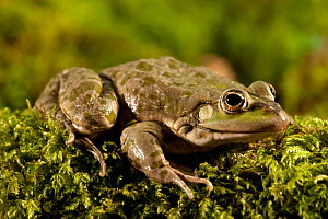 Marsh Frog (Pelophylax / Rana ridibunda) portrait. Captive. North Devon, UK, June.  -  Ross Hoddinott