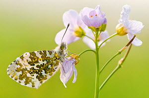 RF- Orange Tip Butterfly (Anthocharis cardamines) female resting on Cuckooflower (Cardamine pratensis). North Devon, UK. April. (This image may be licensed either as rights managed or royalty free.) - Ross Hoddinott