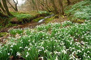 Snowdrops (Galanthus nivalis) flowering on woodland floor. Snowdrop Valley, near Wheddon Cross, Exmoor National Park, Somerset, UK, February. - Ross Hoddinott