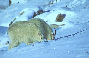 Rocky Mountain Goat (Oreamnos americanus) Nanny and Kid feed on grass beneath the snow. Colorado, USA, February.  -  Charlie Summers