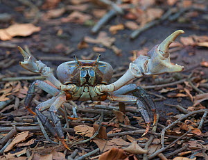 Cocos Purple Land Crab (Cardisoma carnifex) in defensive position. Cocos-Keeling Island, Indian Ocean, Australia, May.  -  Charlie Summers